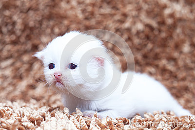 Portrait of white kitten sitting on carpet