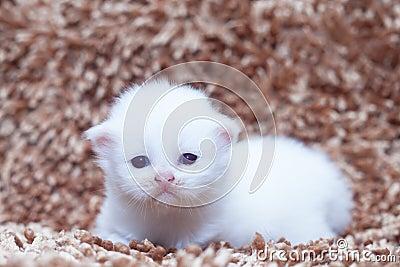 Portrait of white kitten sitting on carpet