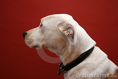 Portrait of white mongrel dog
