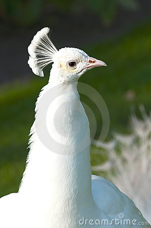Portrait white peacock
