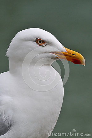 Portrait of white seagull