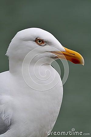 Portrait of white seagull