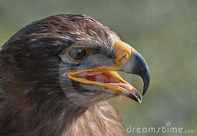 Portrait of a White-tailed Eagle with open beak
