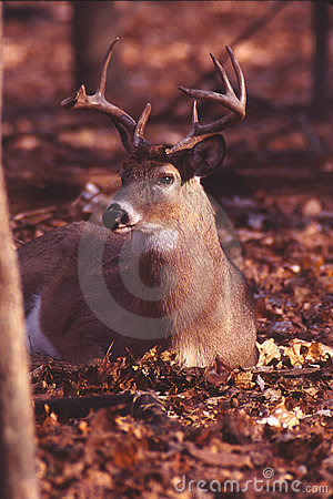 Portrait of a whitetail buck