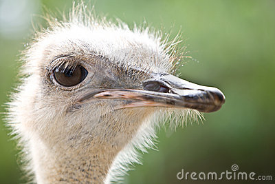 Portrait of wild  emu ostrich.