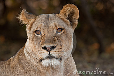 Portrait of a wild lion in southern Africa.