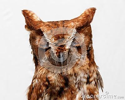 Portrait of wild owl