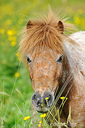 A portrait of a wild pony in a summer meadow