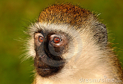 Portrait of wild Vervet monkey