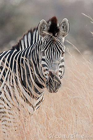 Portrait of a wild Zebra in southern Africa.