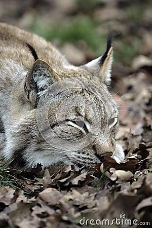 Portrait of wildcat