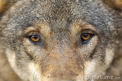 Portrait of wolf