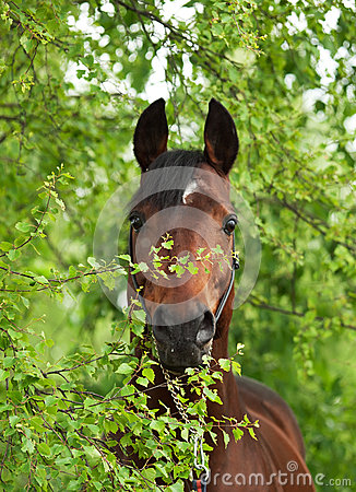 Portrait of wonderful Trakehner stallion