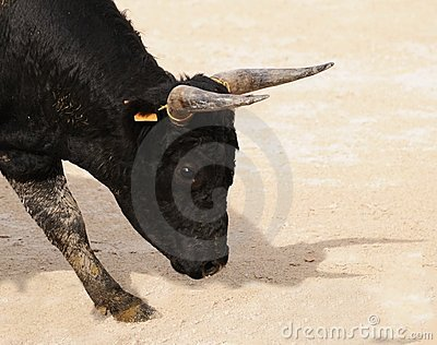 Portrait of a young black bull preparing to charge