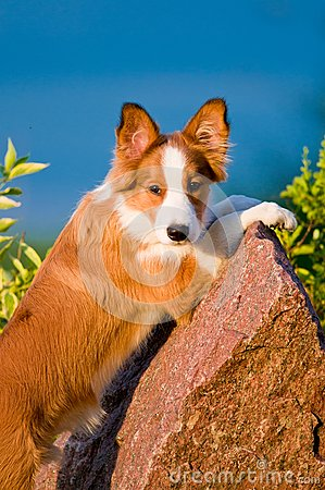 Portrait of young border collie puppy in sunset