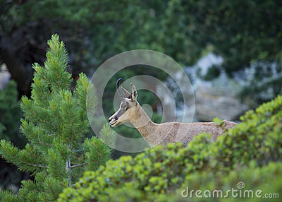 Portrait Of Young Chamois