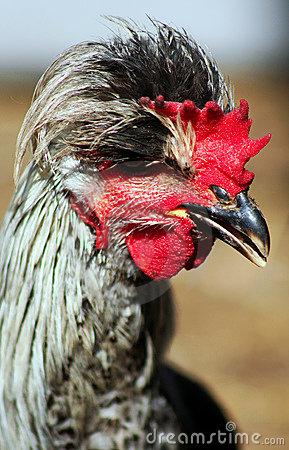 Portrait of a young cock