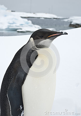 Portrait of a young emperor penguin.