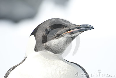Portrait of a young Emperor penguin on a bright day.