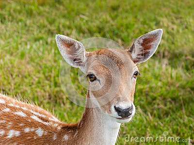 Portrait of a young fallow deer