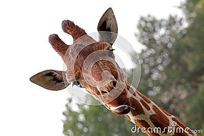 Portrait of a young giraffe