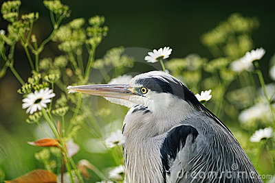 Portrait of young Grey Heron resting among flowers