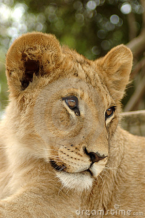 Portrait of young lion