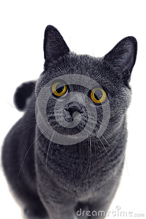 Portrait of young short-haired British gray cat