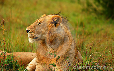 Portrait of young wild african lion