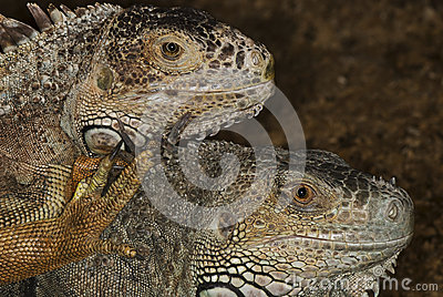Portraits of two iguanas
