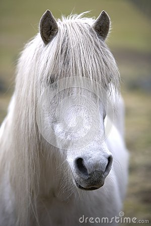 Portrait of a Grey Horse.