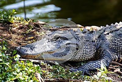 Portret van een Alligator