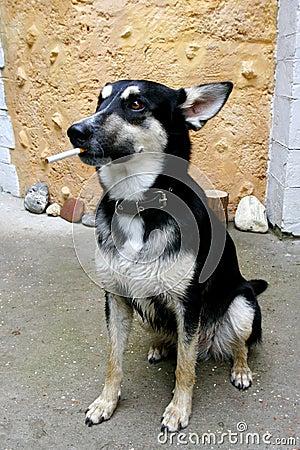 Portret van rokende hond