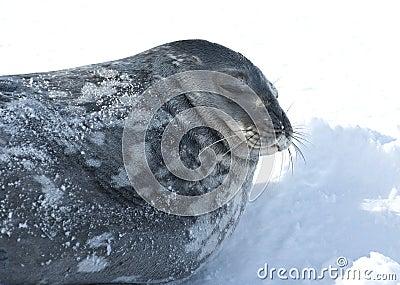 Portret Weddell pieczętuje dosypianie na lodzie.