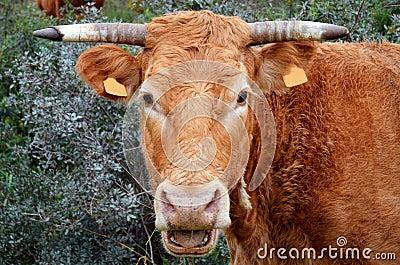 Portuguese cow