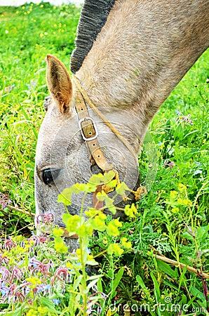 Portuguese lusitano horse feeding