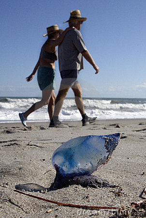 Portuguese man-of-war on beach