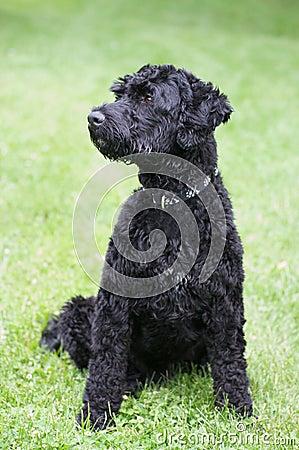 Free Portuguese Water Dog Stock Photo - 5477870