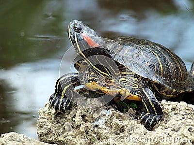 Posh turtle