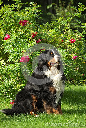 Posing Bernese Mountain Dog
