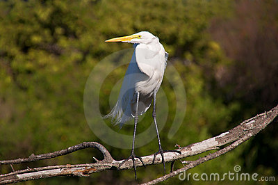 A posing great egret