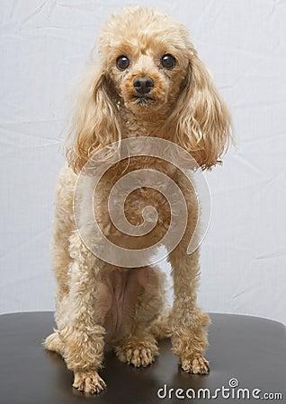 Posing Poodle
