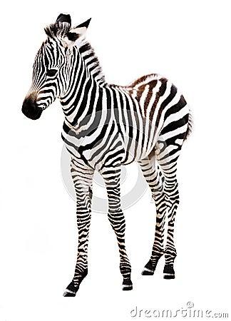 Posição adorável da zebra do bebê.