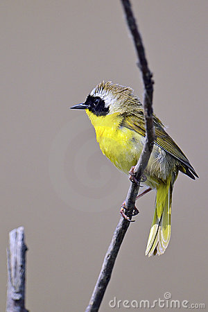 Pospolity yellowthroat