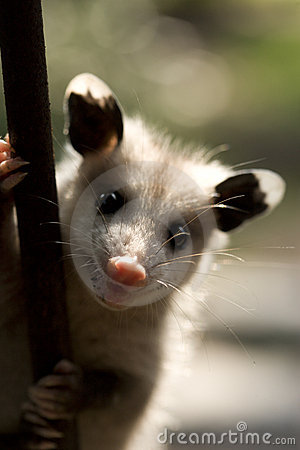 Possum portrait