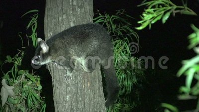 Possum in a tree in the night in Margaret River, Western Australia stock footage