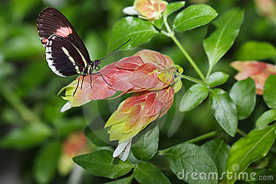 Postman Butterfly and Flower