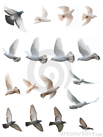 The posture of pigeon flight
