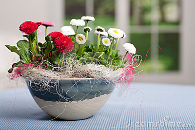 Pot of Bellis perennis