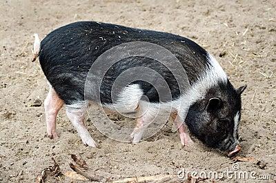 Pot belly pig